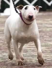 Bull Terrier trotting