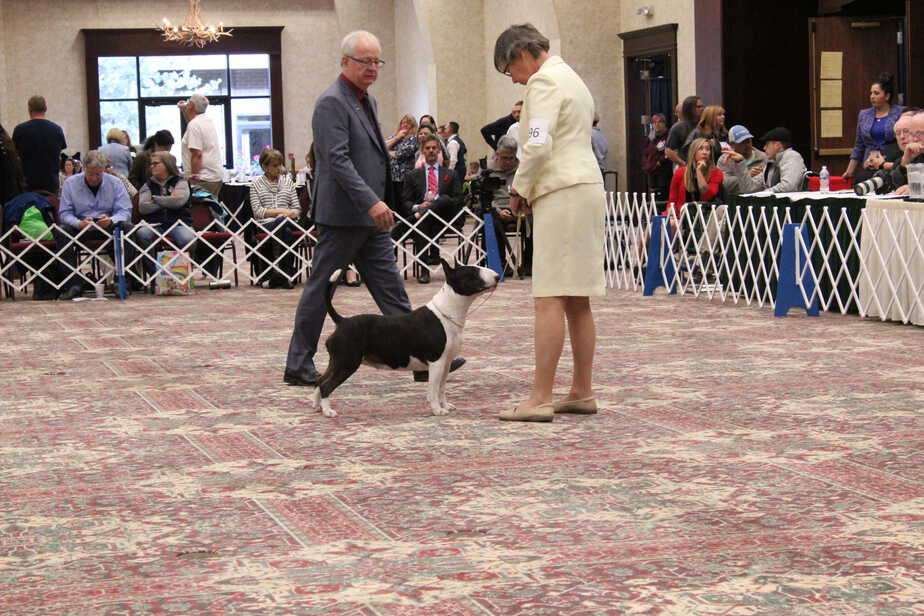 bull terrier in show ring