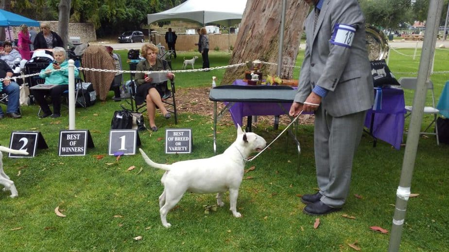 Ch Stonehouse's Easy Being Royual - white bull terrier