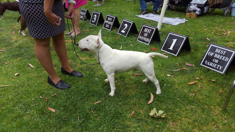 Ch Talmadge Albion McGulager white miniature bull terrier