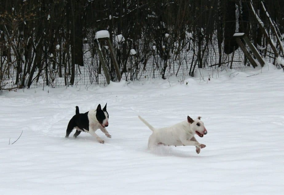two bull terriers running
