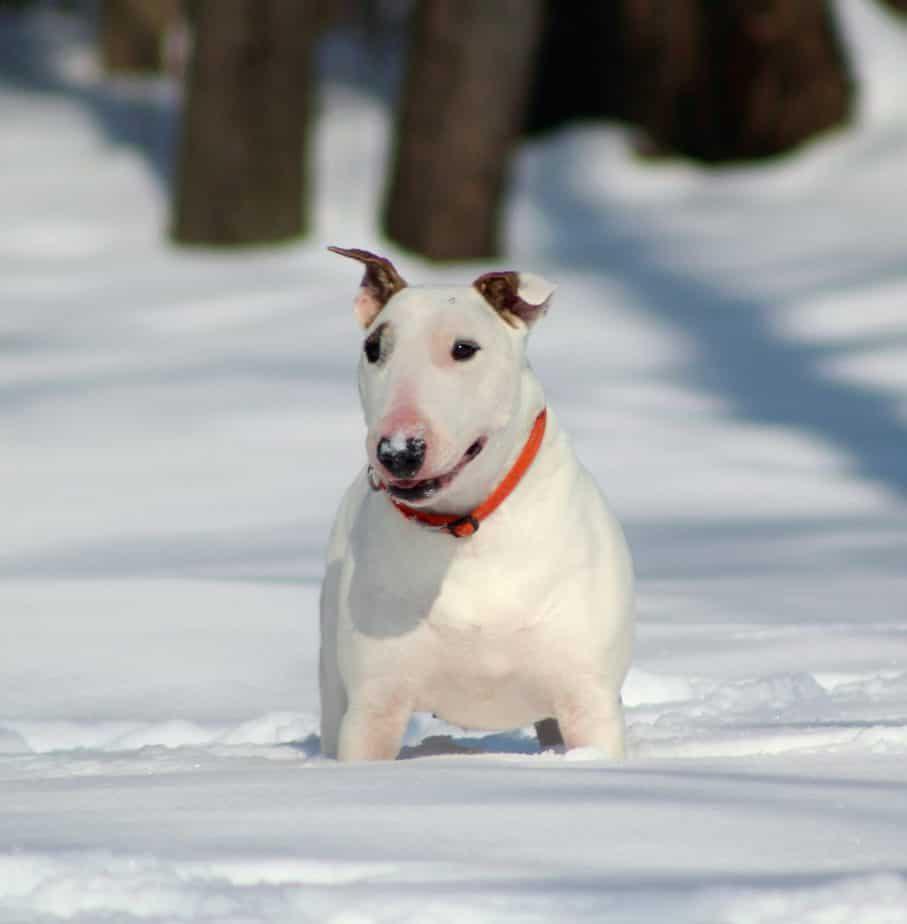 white bull terrier in snow